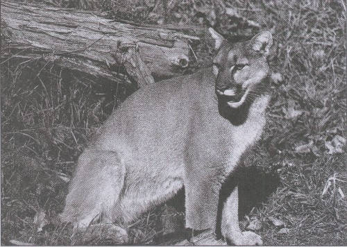 """Oregonians shoot an average of two dozen cougars annually during encounters deemed a public-safety hazard"" - Mail Tribune file photo"